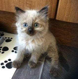 Ragdoll Kittens For Sale