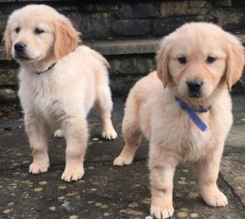 F1 generation golden retriever Puppies For Sale