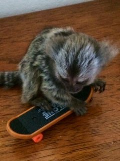 Marmoset monkeys babies ready for sale