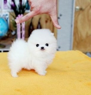Cute Males and females Pomeranian Teacup Puppies f