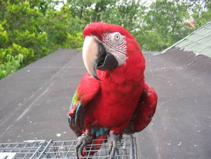 صورة 1 Beautiful tropical macaw for sale