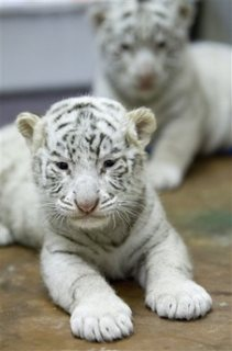 Home raised Tiger Cubs available for new homes.