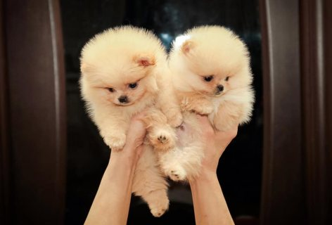 Pomeranian puppies available for sale Pome