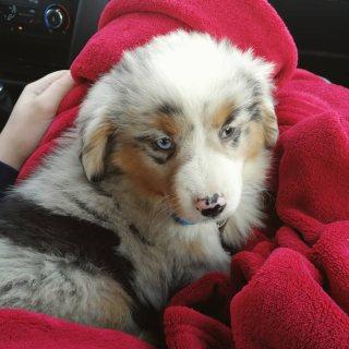 Mini Australian shepherd puppies available