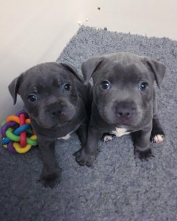 Healthy Staffordshire puppies for sale