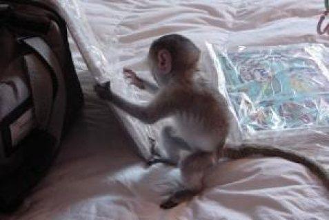 القرد كابوشين من الذكور والإناث
