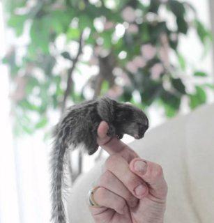 رضيع القرد المتاحة ،
