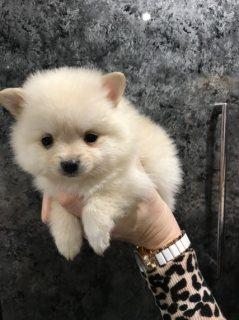 كلب صغير طويل الشعر المتاحة