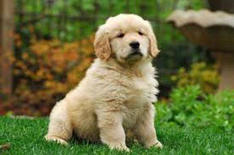 مطلوب كلب اليف, ريتريفر او اي نوع اخر