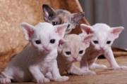 13 weeks Devon Rex Breeders Devon Rex Cat Breeders