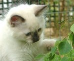 DNICE LOOKING RAGDOL KITTENS FOR FREE ADOPTION