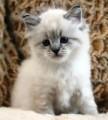 cute Siberian kittens for adoptionhh