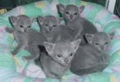 Russian Blue kittensAA
