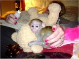 Party Male and female Capuchin Monkeys
