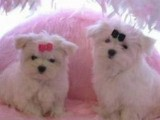 Adorable Maltese Puppies for Sale. MUST SEE
