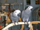 Talking African Grey Parrots for Sale