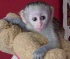 *** Xmas Male And Female Capuchin Monkeys for Sale