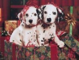 AKC Reg Dalmatian Puppies