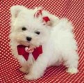 Quality Maltese Puppies Available