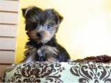 Teacup Yorkie Puppies for Re-homing