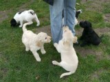 home trained Labrador  puppies ready for re-homing
