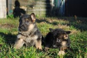 German Shepherd puppies for Good Family