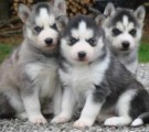 Cute and adorable Siberian Husky puppies for good