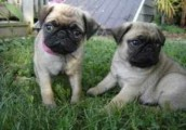 Excellent Male And Female Pug Puppies For Sale Now