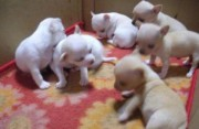 White Tea cup chihuahua puppies Male and Female fo
