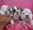 English Bulldog puppies for adoption..