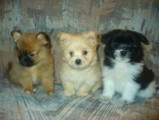 Toy-size and stander Pomeranian Puppies for Sale
