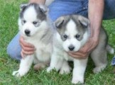 Lovely Siberian Huskies for Pet Lovers