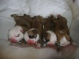 Only 2 British Bull Dog Pups Left Now