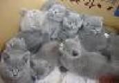 Registered BSH Kittens  - Ready to Go for free