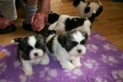 Adorable male and female Shih Tzu PUPPIES for adop