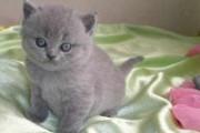 Beautiful British Blue Shorthair Kittens For Adopt