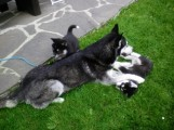 Adorable Male and Female Siberian Husky Puppies Fo