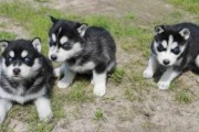 THEY LOVE TO PLAY WITH KIDS(( SIBERIAN HUSKY PUPPI