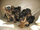 Top Quality Male and Female Yorkshire Terrier Pups
