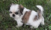 2 Shih Tzu Puppies for Xmas Presents