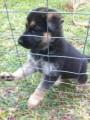 These darling top quality German Shepherd puppies