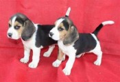Male And Female Pure Breed Beagle Puppies For Adop
