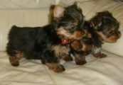 Cute Yorkie Pups For Exmass