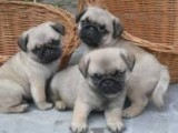 Pug pups for rehoming