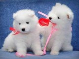 Registered Samoyed puppies for good homes