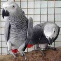 African Grey Parrots for Sale21
