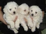 Pure Breed Male/Female Bichon Frise Puppies For Sa