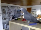 Red Congo African Grey Parrots Available 22
