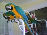 Blue and Gold Macaw Parrots  For Sale 11