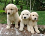 Playful Golden retriever Puppies For Rehoming222